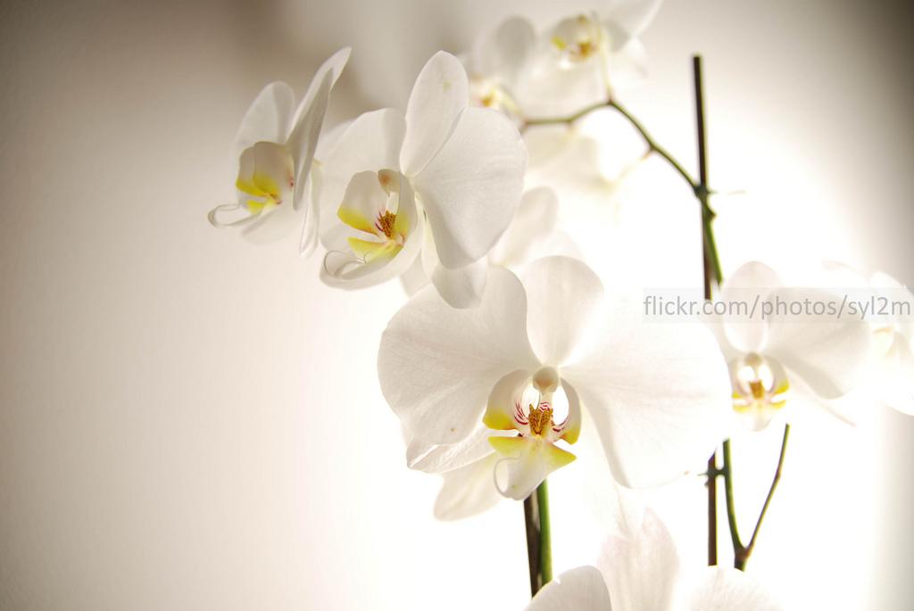 Essai de lumière sur des Orchidées