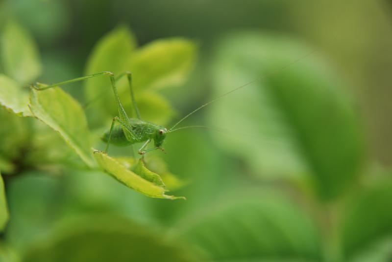 Leaf - Grasshopper / Sauterelle - Feuille