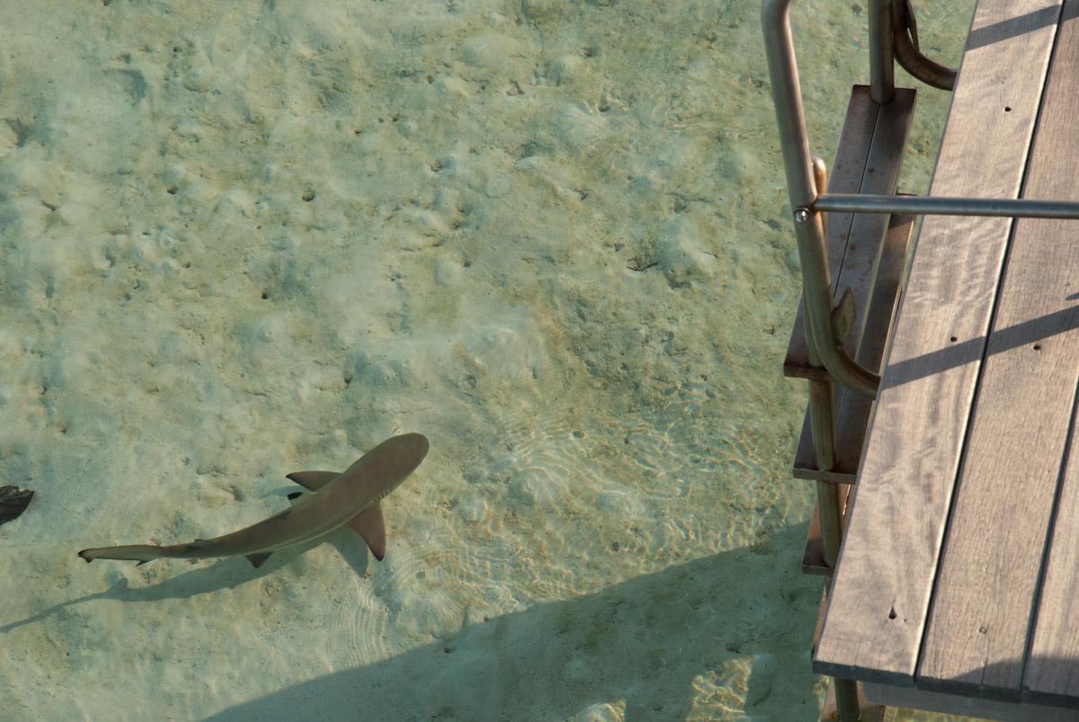Requin à pointe noire près du ponton